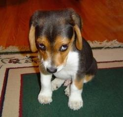Funny looking photo of a puppy looking guilty.jpg