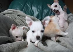 Funny pic of a Chihuahua puppy attacking another.jpg
