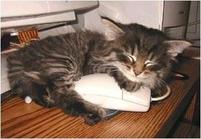 Funny pic of a kitten sleeping with a mouse - a computer mouse that is.jpg