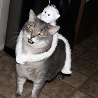 Gray cat is not amused at white toy monkey on its back.jpg