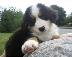 bernese moutain  puppy post.jpg