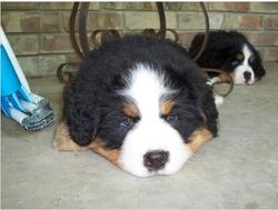 bernese moutain dog looking so funny.jpg
