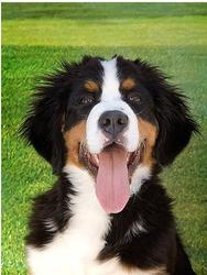bernese moutain dog with its tounge sticking out.jpg