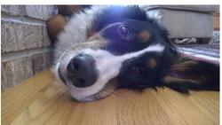 bernese moutain looking funny at the camera picture.jpg