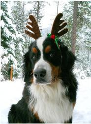bernese moutain with deer outfit.jpg