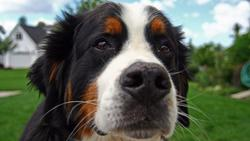 close up picture of bernese dog with its funny look.jpg