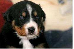 cute picture of a young bernese moutain puppy.jpg