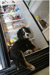 cute puppy bernese moutain going into refrigerator looking for food.jpg