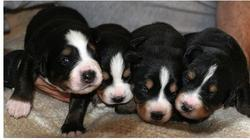 four young bernese moutain puppies picture.jpg