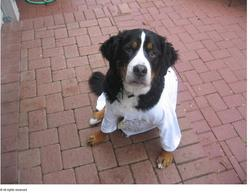 funny bernese dog wearing tshirt picture.jpg