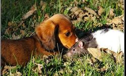 funny photo of a dog friends with a rat.jpg