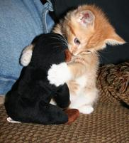 Orange kitten attacks monkey toy.jpg