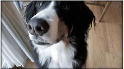 funny picture of bernese moutain dog looking close up to the camera.jpg
