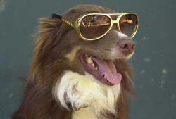Image of a dog with cool sunglasses.jpg