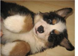 image of bernese moutain dog with funny looking.jpg