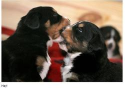 two very young bernese moutain puppies biting each other on the mouth.jpg