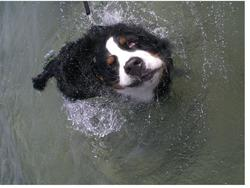 wet dog bernese moutain_funny image.jpg
