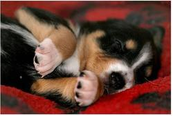 young bernese moutain puppy in deep sleep.jpg