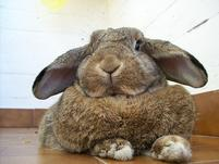 Funny picture of a very fat bunny rabbit.jpg