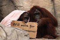 Two orangutans hold up a funny sign.jpg