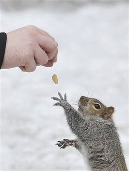 A squirrel who is not shy to reache for a peanut from the hand of a man at Mount Royal Park.jpg
