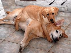 A puppy lays on top of another dog.jpg