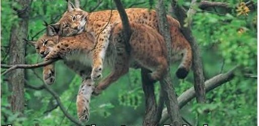 tigers sleeping on top of each other on the branches.jpg