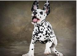 funny picture of dalmation dog with a face expression.jpg