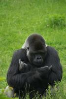 An ape gives the double middle finger gesture.jpg