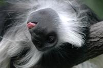 Upside down whtie hair monkey sticks out tongue.jpg