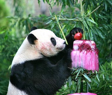 Funny picture of a panda working on his birthday cake.JPG