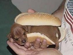 cute very small puppy is sanwished between buns.jpg