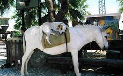 picture of Dog on donkey.jpg