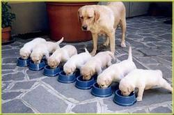 picture of puppies eating in group while their mom watching.jpg