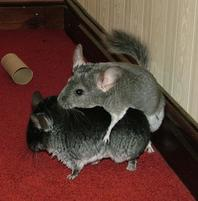 Funny pic of a Chinchilla hugging another.jpg