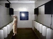 A male Meerkat at a Urinal in this funny photoshoped pic.jpg