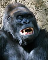 A gorilla has a laugh.jpg