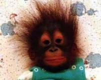 Baby monkey with funny spiky hair.jpg