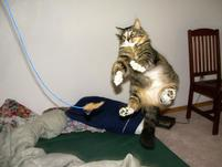 Fat furry cat jumps in the air to attack feather toy.jpg